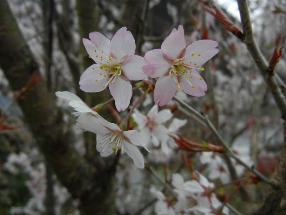 CherryBlossom